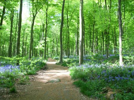 Blue Bell woods Wiltshire